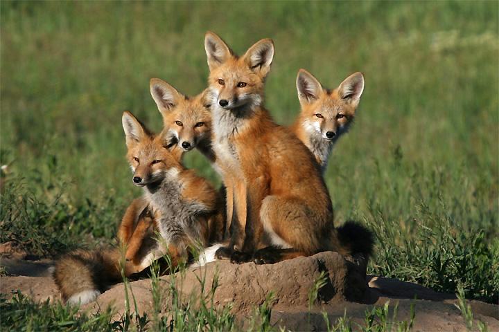 wild fox stamp