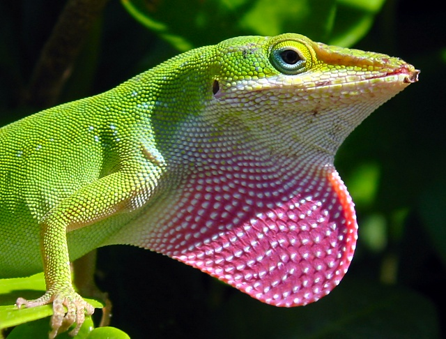 Green anole (Anolis carolinensis) with dewlap extended