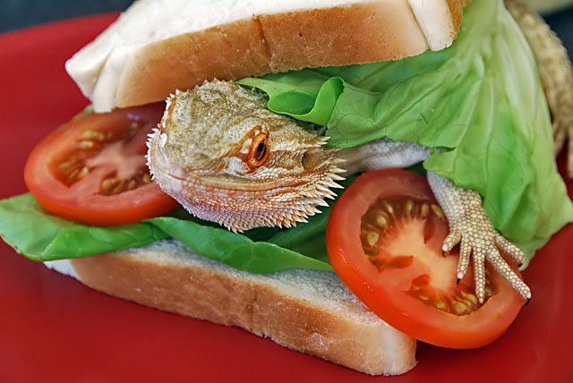 Bearded Dragon Sandwich