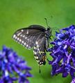 Ambrosia nectar