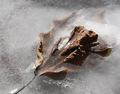 Frozen Leaf.