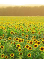 Sweltering Summer Sunflowers