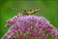 Swallowtail on Joe-Pye weed flower