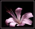 Naked Lady (Amaryllis belladonna)