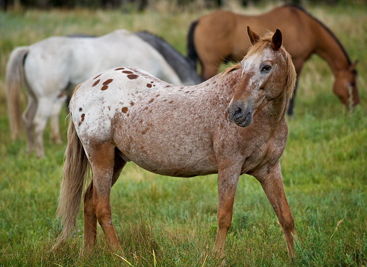 Strawberry Roan Paint at Cheley by hahn23 - DPChallenge - photo#3