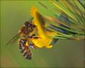 pollinator extraordinaire