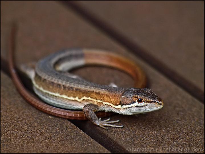 """""""Q""""ute lizard on my verandah"""