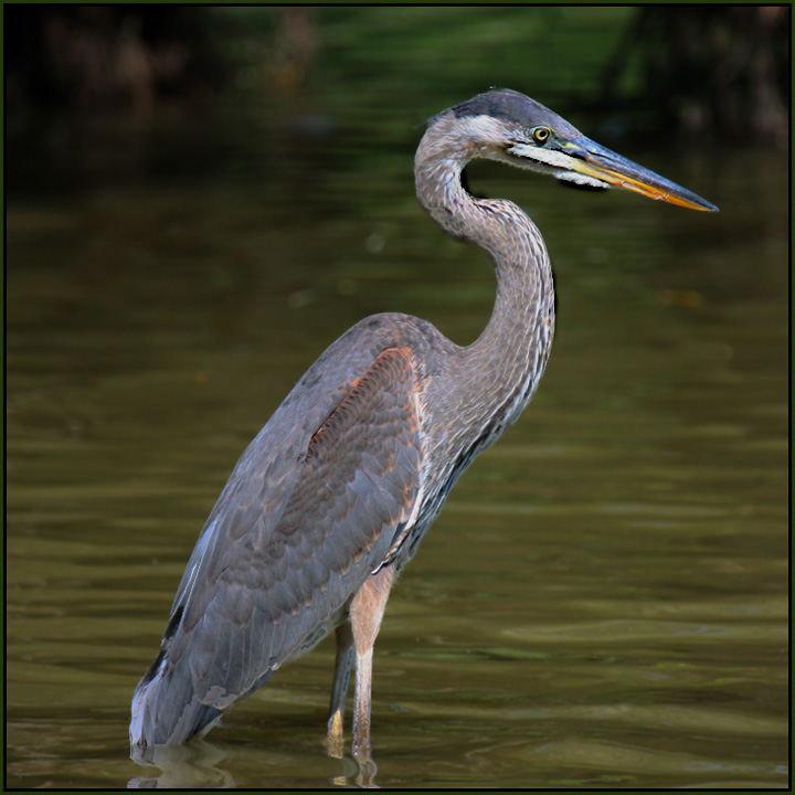 """S"" - Great Blue Heron"
