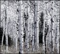 Aspens Awaiting Snow