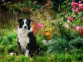 Garden Variety Border Collie