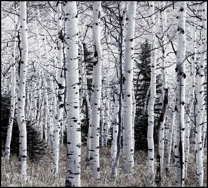 Aspens Awaiting Snow