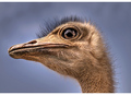 Struthio camelus  (Ostrich)
