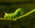 The Great Tobacco Hornworm Takes His Bow