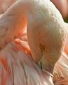 Flamingo Preens