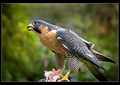The Peregrine and the Field Mouse