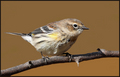 1st yr  Yellow-rumped Warbler