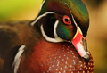 Autumn Wood Duck