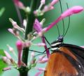 bella farfalla