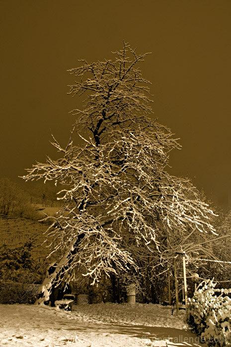 My Snowy Cherry Tree