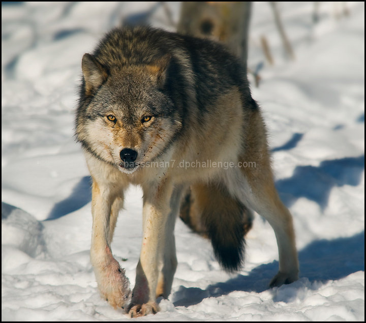 Hungry Grey Wolf (Canis lupus)