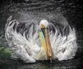 Pelican ACTION !!!