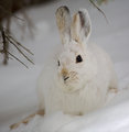 """Whiterook's """"Fatal Attraction"""" (alt. ending: Escape to the Snowy Forest)"""