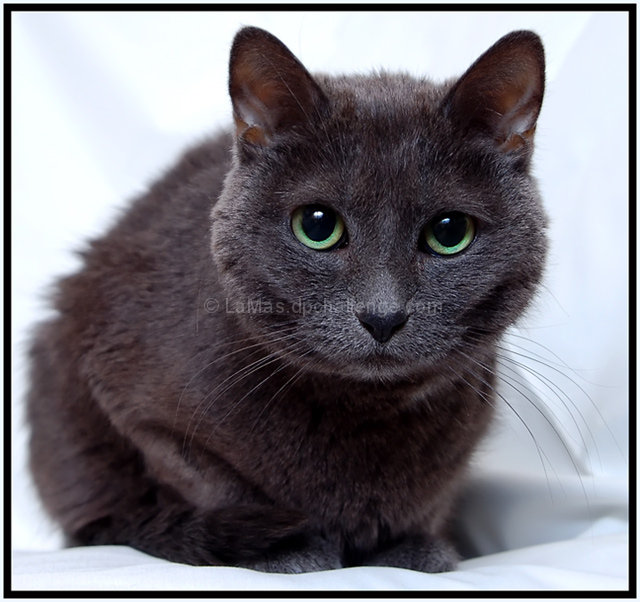 Green Eyed Russian Blue by LaMas - DPChallenge Russian Blue With Green Eyes