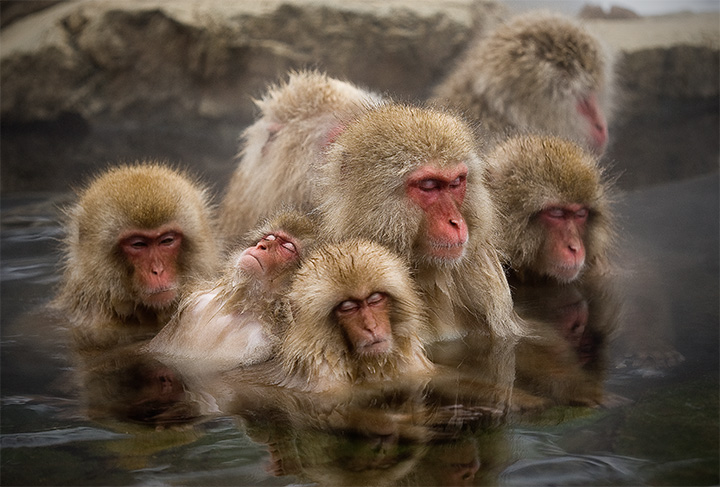 Japanese Macaque in Jigokudani Yaenkoen Onsen