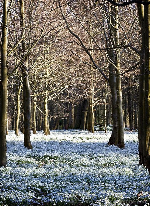 March Snowdrops