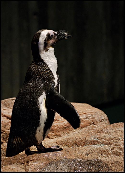 Penguins of the World - February - African Penguin