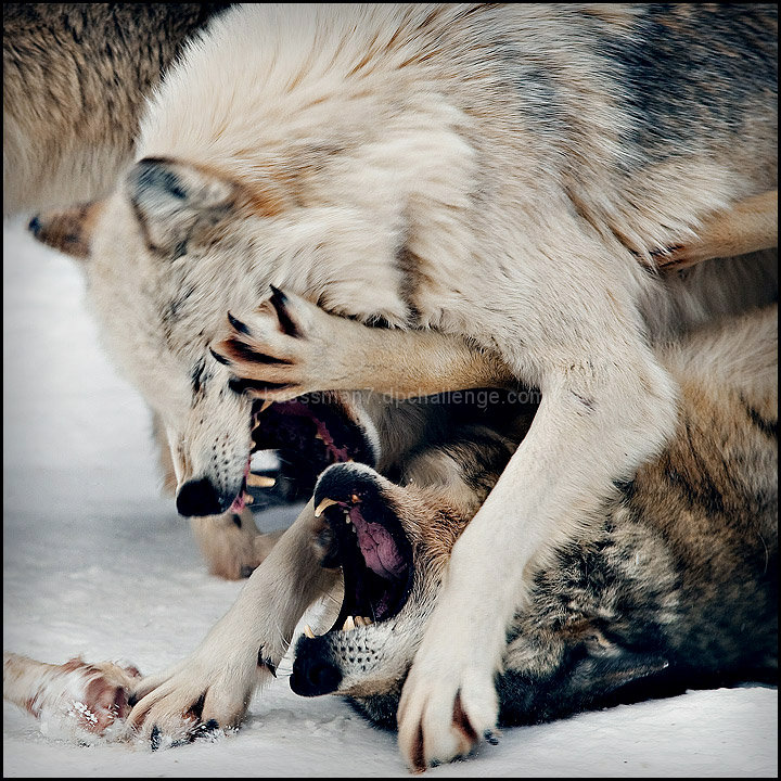 You are not logged in    log in or register  White Wolf And Black Wolf Fighting