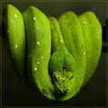 Green Skin of Nagendra