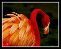 The American Flamingo