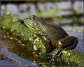 Profile of an American bullfrog