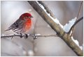 House Finch in Late Winter