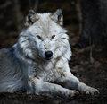 """""""Wolf"""" -  Joe Walsh, 1973"""