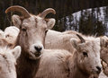 Brothers - Rocky Mountain Big Horn Sheep