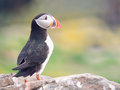 The Puffin    ~    Fratercula arctica