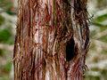 Swamp Cedar