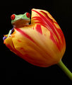Springing frog in a spring tulip