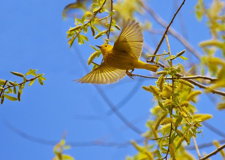 flying yellow warbler by naco dpchallenge