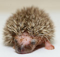 New Born Hedgehog