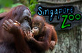 Kissing Game at the Singapore Zoo