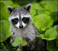 Raccoon  (user rockyracoon)