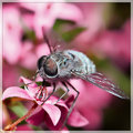 Boronia Ledifolia & Bee Fly