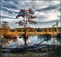 Wetland Cypress