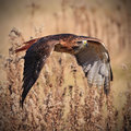 Redtail in Flight