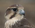 Prairie Falcon portrait