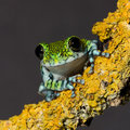 Usumbara peacock frog