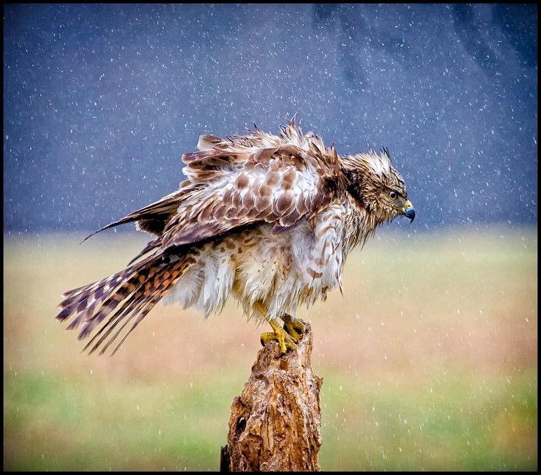 Rainy Day Raptor